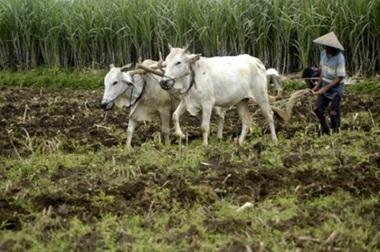 teknologi integrasi ternak sapi dengan tanaman pangan, jagung dan hortikultura