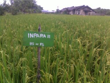 teknologi pengelolaan tanaman terpadu budi daya padi lahan pasang surut dan rawa